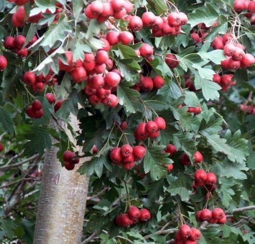 四川省凉山彝族自治州德昌县求购草莓种苗