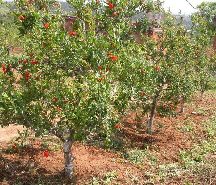 四川省甘孜藏族自治州九龙县草莓苗蚜虫