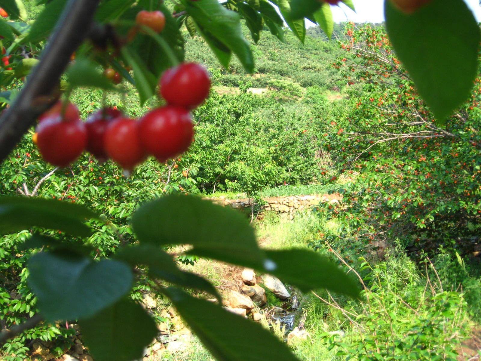 四川省雅安市名山区草莓一年苗