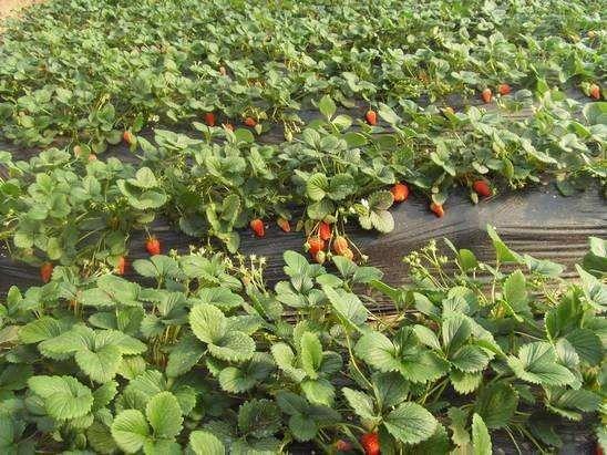 四川凉山彝族普格草莓苗开花