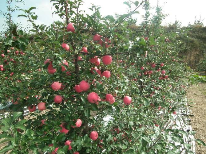 陕西榆林子洲草莓苗多少钱一根儿批发价