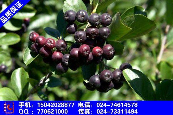 佳木斯蒙古栎小苗价格