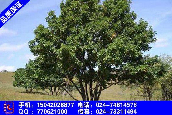 葫芦岛公分蒙古栎价格