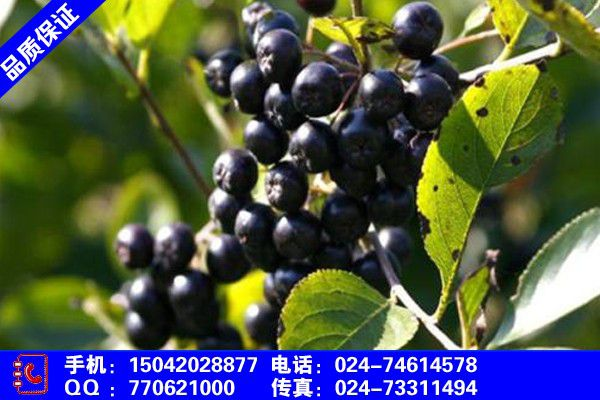 山东淄博桓台辽东栎树