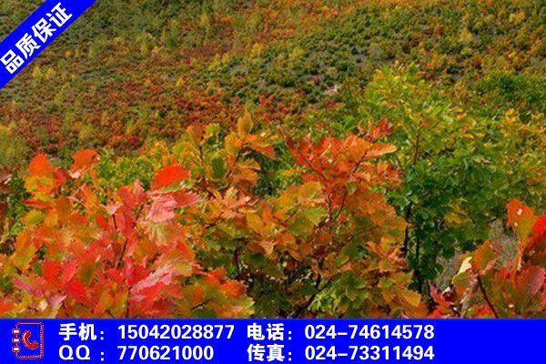 新疆维吾尔阿勒泰地吉木乃蒙古栎苗木价格