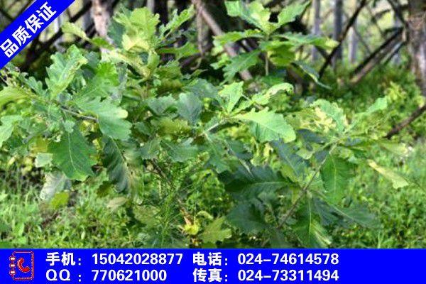 惠州辽东栎果实