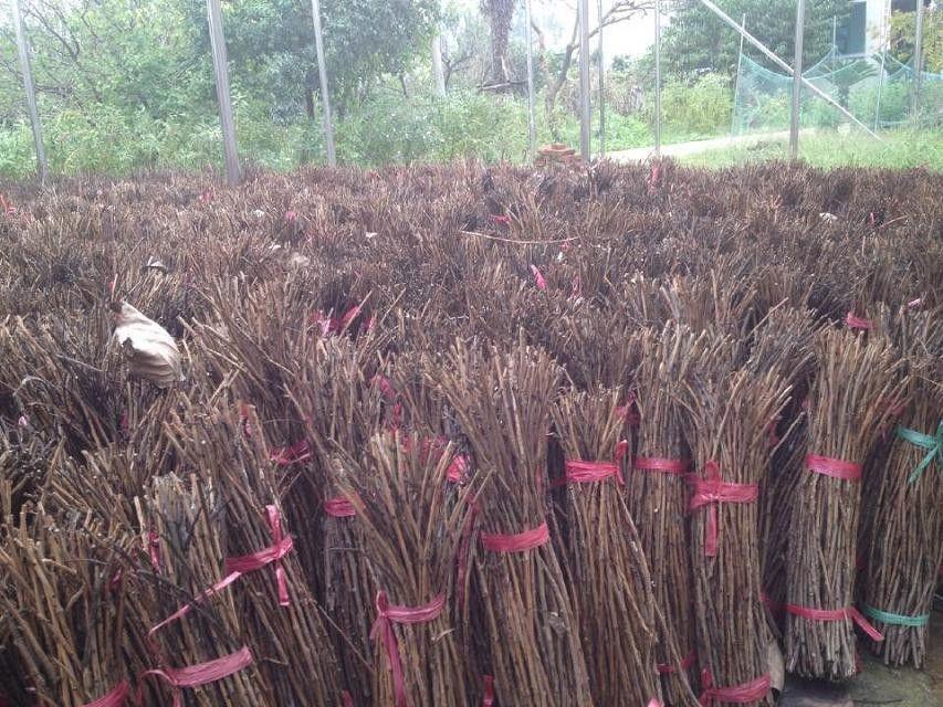 乌兰察布榆树苗方法经验