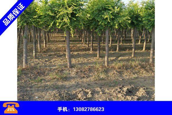 黑河逊克金叶榆造型树图片大全产品调查