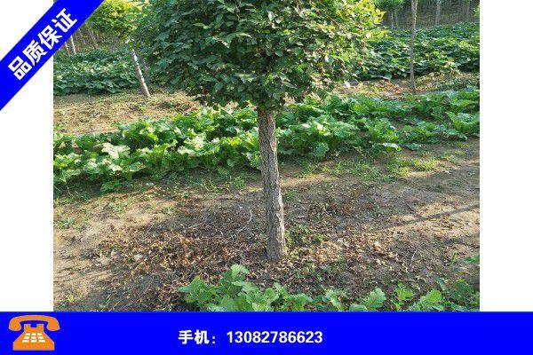 乌鲁木齐沙依巴克金叶榆树在哪些地方