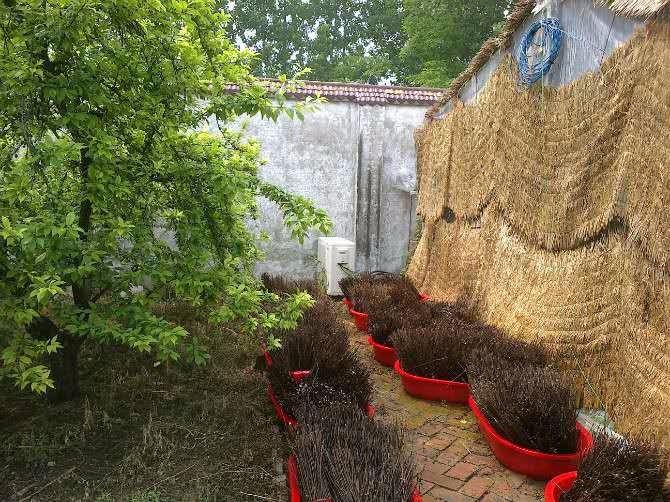 秦?#23454;?#37329;蝉卵枝发展绿色农业