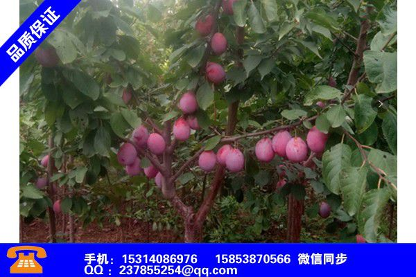 黑龙江双鸭山甜宝草莓苗哪里出售品种齐全