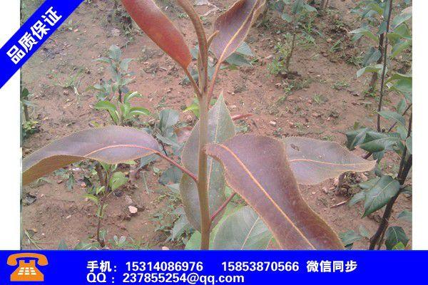 天水甘谷甜宝草莓苗图片分类新闻