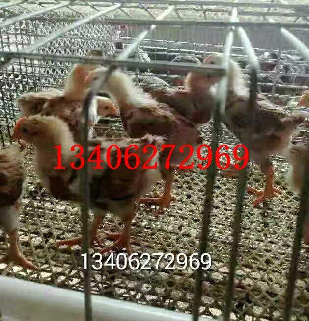 青岛即墨区九斤红公鸡苗发展必然