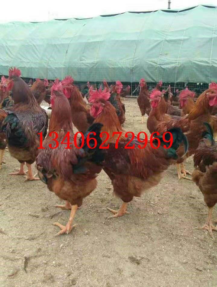 和田地区策勒县红玉鸡苗品牌战略是提高竞争