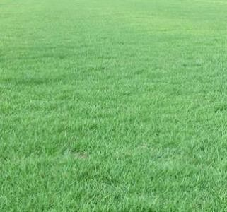 阿拉尔草坪狗牙根种子欢迎您订购